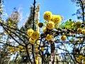 Flor de Huizache en Aguascalientes 4.jpg