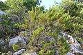 Flora della Sardegna 012 (07).JPG