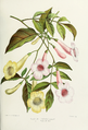 Flower-tecoma-jasminoides-velutina.png