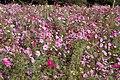 Flower field (2087545123).jpg