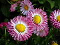 Flowers of Iran گلهای ایران 12.jpg