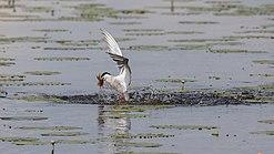 Fluss-Seeschwalbe im Vogelschutzgebiet Federseeried (DE-7923-401) beim Fischfang02.jpg
