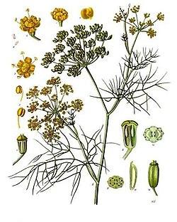 Anix Belarra (Foeniculum vulgare)  250px-Foeniculum_vulgare_-_K%C3%B6hler%E2%80%93s_Medizinal-Pflanzen-148