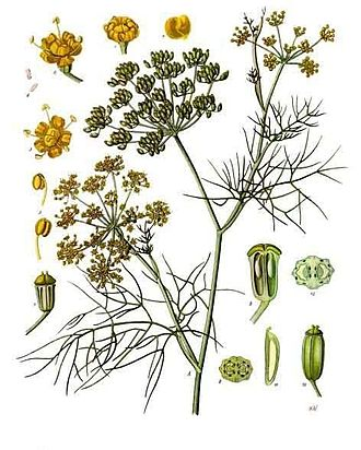 Fennel - Fennel, from Köhler's Medicinal Plants (1887)