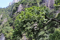 Fokienia hodginsii - Mount Sanqing 2015.09.08 11-09-31.jpg