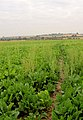 Footpath through sugar beet^ - geograph.org.uk - 521790.jpg