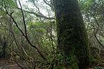 Forest in Yakushima 54.jpg