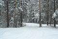 Forest near Ob river in Altai Region 18.JPG