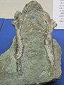 Fossil of sternum of Copepteryx from Kitahata Karatsu Japan.JPG