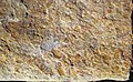 Fossiliferous sandstone (Vinton Member, Logan Formation, Lower Mississippian; Hanover Pit, Licking County, Ohio, USA) 11 (46837236944).jpg