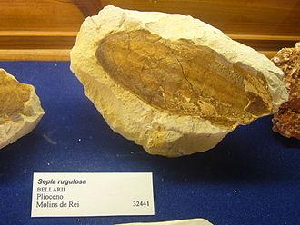 Cuttlebone - Fossil cuttlebone of the Pliocene species Sepia rugulosa