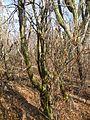 Fouquieria macdougalii (5768631373).jpg