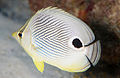 Four-Eye Butterflyfish (8422762054).jpg