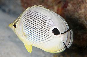 Description de l'image Four-Eye Butterflyfish (8422762054).jpg.
