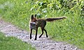 Fox heading out to hunt (49901960283).jpg