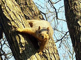 Fox squirrel at Morton Arboretum.jpg
