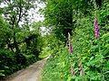 Foxgloves by the track - geograph.org.uk - 1355535.jpg