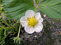 Fragaria × ananassa 'Korona' flower.jpg