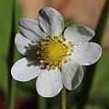 Fragaria iinumae (flower s13).jpg