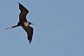 Fragata magnífica, Magnificent Frigatebird, Fregata magnificens (9063738806).jpg