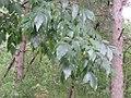 Fraxinus excelsior - jasen (1).jpg