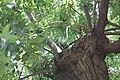Fraxinus ornus - Crni jasen (1).jpg