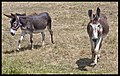Friendly Mules comes to fence-01and (3148293039).jpg