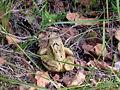 Frosch bei Staudach 22092005.JPG