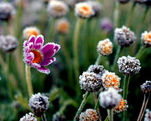 A photo of a flower with advection frost on the tips of its petals.