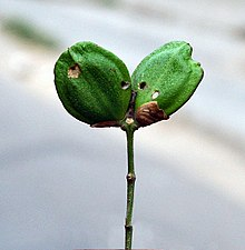 Fruit of the Parijat plant (Nyctanthes arbor-tristis), Kolkata, India - 20070130.jpg