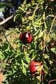 Fruit trees עצי פרי (33).JPG