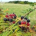 Fruits of autumn - geograph.org.uk - 1534583.jpg