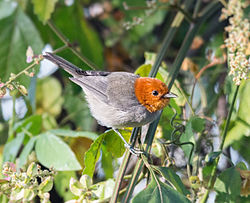 Fulvous-headed Tanager - frutero cabecileonado (Thlypopsis fulviceps fulviceps).jpg