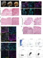 Functional repopulation of whole-organ thymus scaffolds.webp
