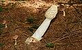 Fungus 2-07 - geograph.org.uk - 549723.jpg
