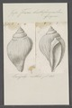 Fusus bulbiformis - - Print - Iconographia Zoologica - Special Collections University of Amsterdam - UBAINV0274 083 07 0044.tif
