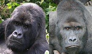 Eastern gorilla - Mountain gorilla and eastern lowland gorilla