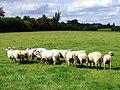GOC Letchworth 092 Sheep (40845920384).jpg