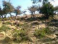 GOVERDHAN DHAM - panoramio (1).jpg