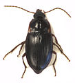Gaioxenus pilipalpis female.jpg