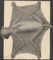 Galeopithecus volans - 1734-1765 - Print - Iconographia Zoologica - Special Collections University of Amsterdam - UBA01 IZ19700099.tif