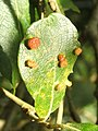 Galls on eared willow (caused by gall mite) - geograph.org.uk - 952139.jpg