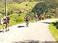 Ganadería vacuna en Luena (Cantabria).JPG