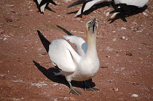 Gannet - A northern gannet in Bonaventure Island's colony