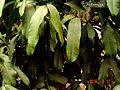 Garcinia xanthochymus Sour mangosteen , Mysore Gamboge Green and glossy leaves are remarkably long upto 12 inches, drooping down.jpg