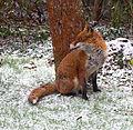 Garden Fox 3 (6817837687).jpg