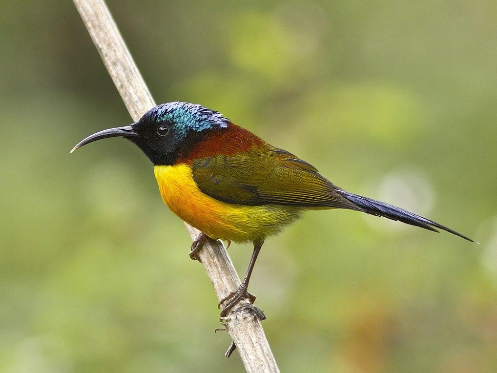 GarimaBhatia Green-tailed Sunbird MG 1191