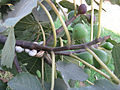 Gastropoda-Fruits of Ficus carica-Sde Yoav.jpg