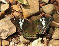 Gaudy Baron Euthalia lubentina Female by Dr. Raju Kasambe DSCN1157 (1).jpg
