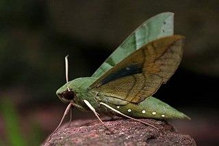<i>Eumorpha</i> genus of insects